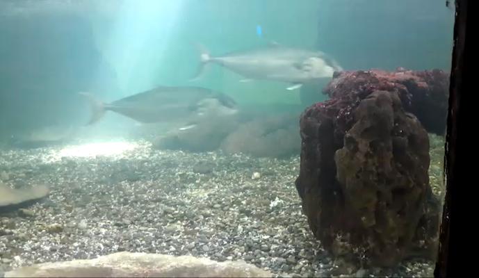 Ricciole all'acquario
