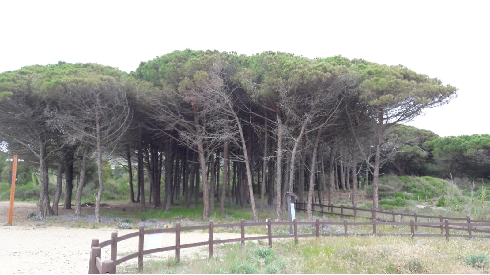 La pineta dietro la duna