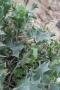 Calcatreppola (Eryginium maritimum)